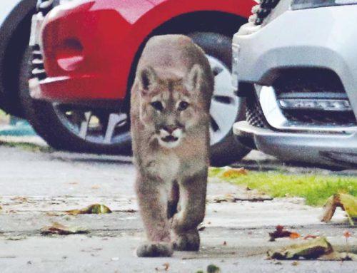 La cuarentena motiva a Pumas y cóndores a expandir su territorio quitado por el ser humano