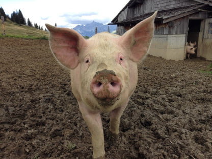 Internacional   detectan cepa porcina G4 EA H1N con potencial pandémico que tiene tres linajes distintos