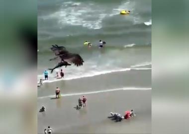 Noticias | Ave rapaz cazó un pequeño tiburón entre sus garras y genera intenso debate científico