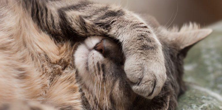 Noticias Chile | Gato doméstico fue confundido con un puma en Alto Macul asustando a los vecinos