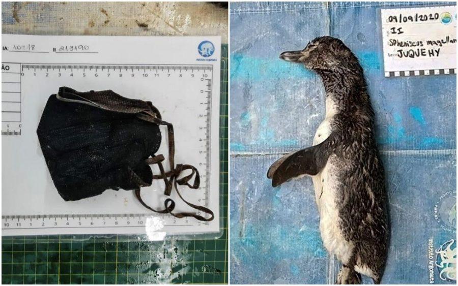 Noticias Chile | Pingüino muere luego de comer mascarilla N-95