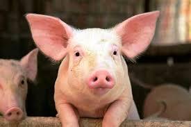 Noticias Chile | Camión con cerdos volcó en Argentina y las personas los faenaron en el lugar para comérselos