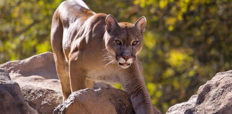 Noticias Chile | mujer de 28 años muere atacada por un Puma
