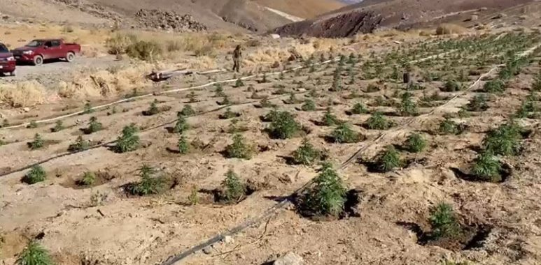 Noticias Chile   Carabineros encuentra histórica plantación de marihuana a 2.600 metros de altitud, en pleno desierto de Atacama