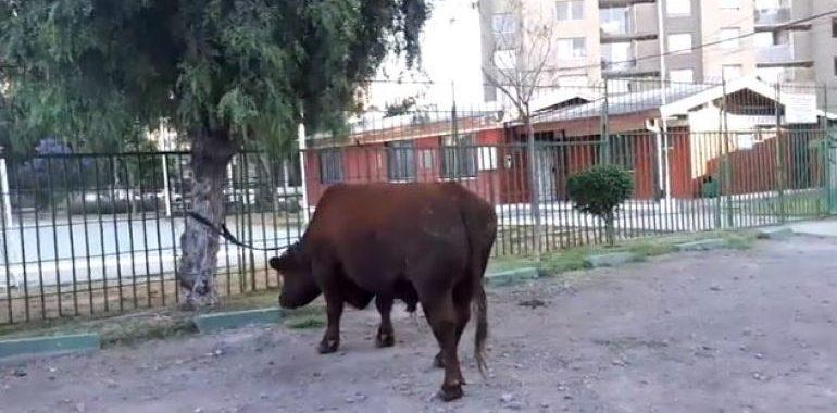 Noticias Chile   Toro de 600 kilos recorrió el centro de Santiago durante toda la madrugada