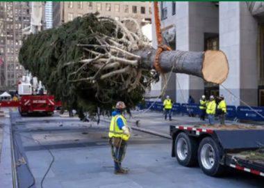 Noticias | Cortaron un abeto noruego de 23 metros para que sea el árbol de navidad, mientras el mundo los necesita más que nunca