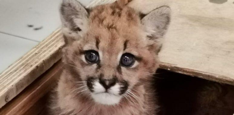 Pequeño puma de 1.8 kilos es rescatado por el Zoológico Nacional➡️ https://www.elinformadorchile.cl/2020/11/16/noticias-chile-pequeno-puma-de-1-8-kilos-es-rescatado-por-el-zoologico-nacional/