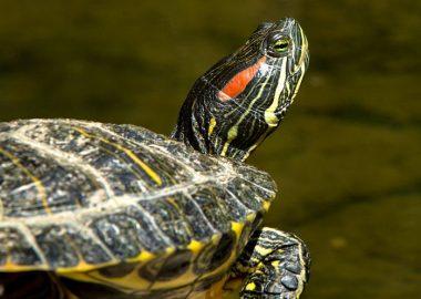 Noticias Chile   Matarán tortugas de Oreja Roja en el sur, por ser invasores para el ecosistema