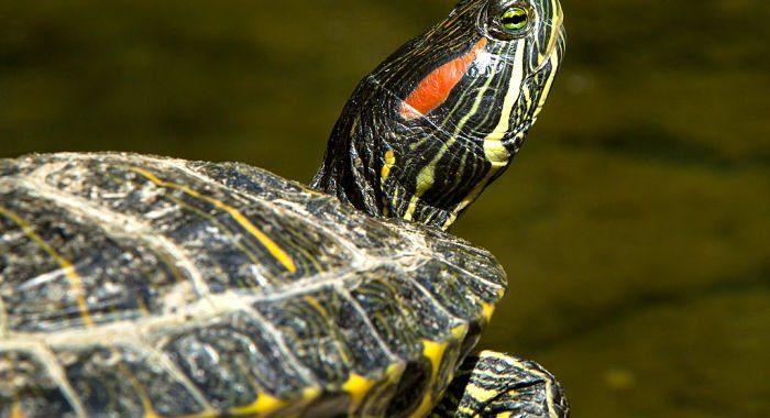 Noticias Chile | Matarán tortugas de Oreja Roja en el sur, por ser invasores para el ecosistema