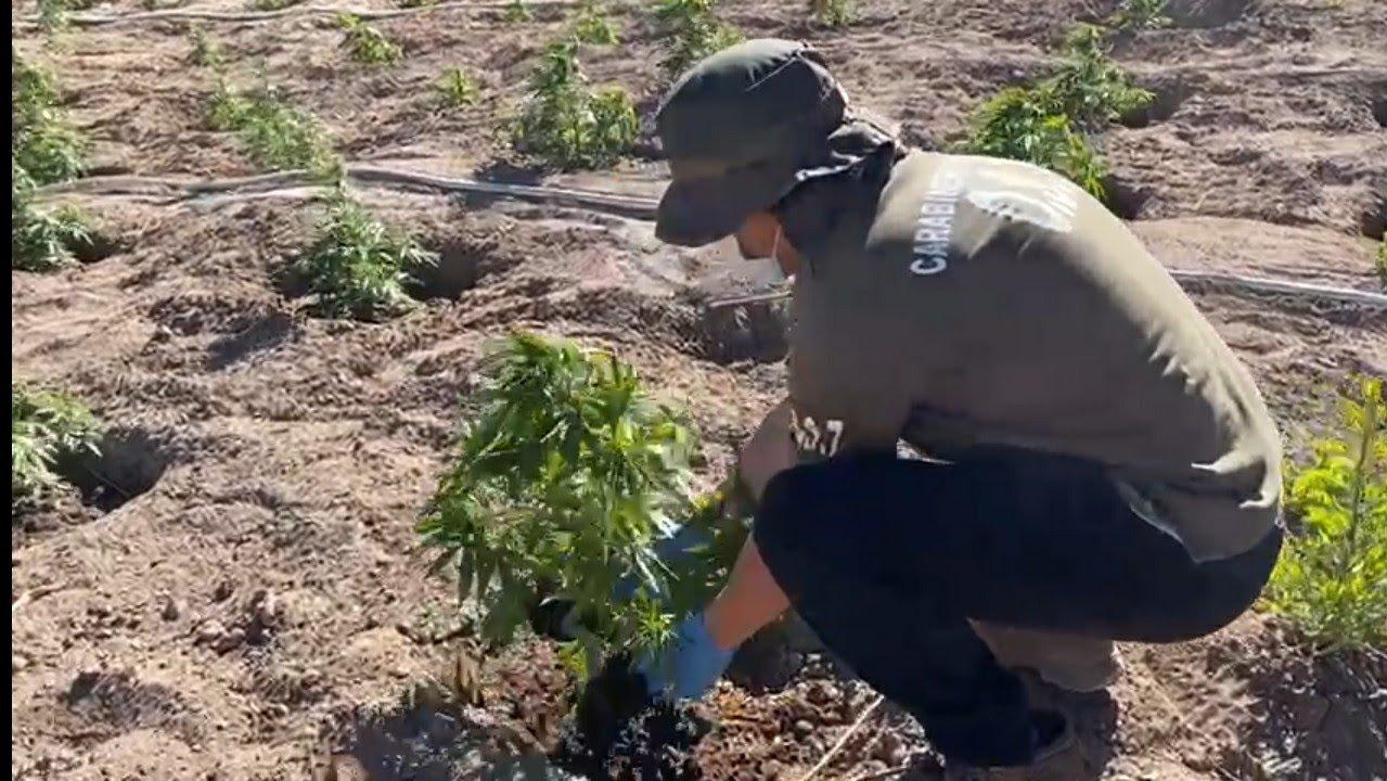 Noticias Chile   Carabineros encuentra histórica plantación de marihuana a 2.600 metros de altitud en pleno desierto de Atacama