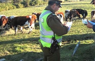 Noticias Chile | Detienen a carabinero en el sur de Chile, luego de robarse un vacuno